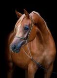 Άλογο κάστανων που απομονώνεται στο Μαύρο Στοκ εικόνα με δικαίωμα ελεύθερης χρήσης