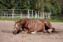 Άλογο κάστανων που κυλά στην άμμο Στοκ εικόνα με δικαίωμα ελεύθερης χρήσης