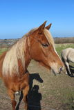 Άλογο κάστανων σε έναν τομέα Στοκ εικόνα με δικαίωμα ελεύθερης χρήσης
