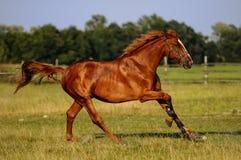 Άλογο κάστανων Στοκ Εικόνα