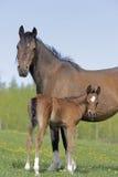 Άλογο και Foal κόλπων Στοκ Φωτογραφία