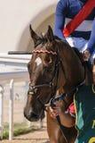 Άλογο κούρσας που περιμένει στην αρχή του τοπικού ντέρπι στοκ εικόνες με δικαίωμα ελεύθερης χρήσης
