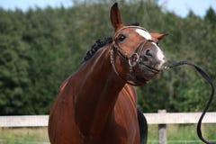 Άλογο κόλπων με το αστείο πορτρέτο χαλιναριών το καλοκαίρι Στοκ φωτογραφίες με δικαίωμα ελεύθερης χρήσης