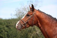 Άλογο κόλπων με το πορτρέτο χαλιναριών το καλοκαίρι Στοκ Φωτογραφίες
