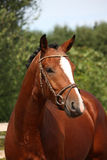 Άλογο κόλπων με το πορτρέτο χαλιναριών το καλοκαίρι Στοκ Εικόνες
