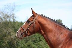 Άλογο κόλπων με το πορτρέτο χαλιναριών το καλοκαίρι Στοκ φωτογραφία με δικαίωμα ελεύθερης χρήσης