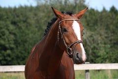Άλογο κόλπων με το πορτρέτο χαλιναριών το καλοκαίρι Στοκ φωτογραφίες με δικαίωμα ελεύθερης χρήσης