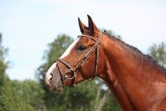 Άλογο κόλπων με το πορτρέτο χαλιναριών το καλοκαίρι Στοκ Εικόνα