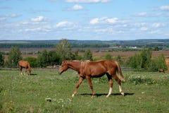 Άλογο κόλπων σε έναν περίπατο Στοκ φωτογραφίες με δικαίωμα ελεύθερης χρήσης