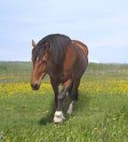 Άλογο κόλπων Στοκ Εικόνα