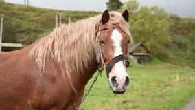 Άλογο με τον όμορφο Μάιν απόθεμα βίντεο