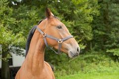 Άλογο με το κομμάτι και τους Μάιν Στοκ εικόνες με δικαίωμα ελεύθερης χρήσης