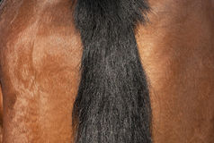 Άλογο: μια ουρά πλεξουδών Στοκ Φωτογραφίες