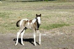 Άλογο μωρών Στοκ Φωτογραφίες