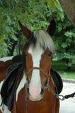 Άλογο πορτρέτου Στοκ εικόνα με δικαίωμα ελεύθερης χρήσης