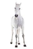 Άλογο που απομονώνεται άσπρο στο λευκό Στοκ Φωτογραφία