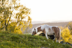 Άλογο που καλύπτει με χορτάρι δεξιά πριν από το ηλιοβασίλεμα Στοκ φωτογραφία με δικαίωμα ελεύθερης χρήσης