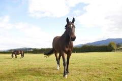Άλογο που περπατά προς τη κάμερα Στοκ Εικόνες