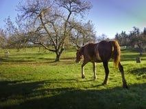 Άλογο που περπατά σε ένα λιβάδι Στοκ Φωτογραφίες