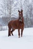Άλογο που στέκεται στο χιόνι Στοκ Φωτογραφία
