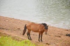 Άλογο που τρώει στην πόνο Ung στο γιο της Mae Hong Στοκ Φωτογραφία