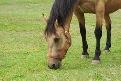 Άλογο που τρώει τη χλόη σε μια επικεφαλής κινηματογράφηση σε πρώτο πλάνο τομέων Στοκ Εικόνα