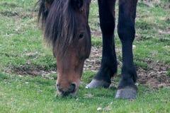 Άλογο που τρώει τη χλόη στην Ισλανδία Στοκ Εικόνα