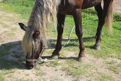 Άλογο που τρώει τη χλόη Στοκ Εικόνες