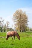 Άλογο που τρώει τη χλόη Στοκ φωτογραφίες με δικαίωμα ελεύθερης χρήσης