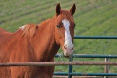 Άλογο που τρώει τη χλόη Στοκ εικόνες με δικαίωμα ελεύθερης χρήσης
