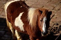 Άλογο πόνι Στοκ Εικόνες