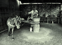 Άλογο σε ένα πετρέλαιο μουστάρδας Ghani Στοκ φωτογραφία με δικαίωμα ελεύθερης χρήσης