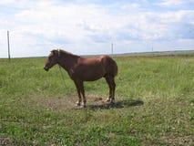 Άλογο σε ένα πεδίο Στοκ εικόνα με δικαίωμα ελεύθερης χρήσης