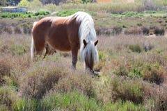 Άλογο σε Camargue Στοκ φωτογραφίες με δικαίωμα ελεύθερης χρήσης