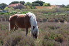 Άλογο σε Camargue Στοκ Εικόνα