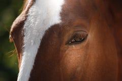 Άλογο στη φύση Πορτρέτο ενός αλόγου, καφετί άλογο Στοκ Φωτογραφία