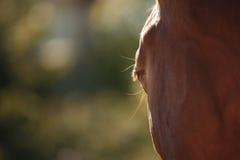 Άλογο στη φύση Πορτρέτο ενός αλόγου, καφετί άλογο Στοκ Εικόνες
