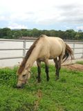 Άλογο στον πράσινο τομέα στην όχθη ποταμού Khong Στοκ Φωτογραφία