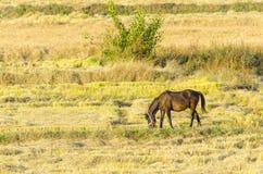 Άλογο στον τομέα ρυζιού Στοκ Εικόνες