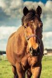 Άλογο στον τομέα στο ηλιόλουστο στήριγμα της Αυστρίας Styria ημέρας Στοκ Εικόνα