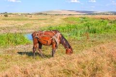 Άλογο στο λουρί Στοκ Φωτογραφία
