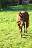 Άλογο στο πεδίο Στοκ φωτογραφίες με δικαίωμα ελεύθερης χρήσης