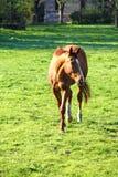 Άλογο στο πεδίο Στοκ εικόνες με δικαίωμα ελεύθερης χρήσης