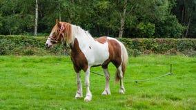 Άλογο στο πεδίο Στοκ Φωτογραφίες