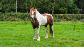 Άλογο στο πεδίο Στοκ Εικόνες