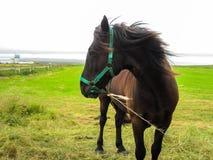 Άλογο στο Σαιν Πιέρ και Μικελόν, Γαλλία Στοκ φωτογραφία με δικαίωμα ελεύθερης χρήσης
