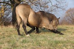 Άλογο τετάρτων που κάνει ένα τόξο Στοκ φωτογραφία με δικαίωμα ελεύθερης χρήσης