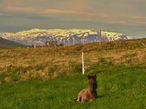 Άλογο της Ισλανδίας Στοκ εικόνα με δικαίωμα ελεύθερης χρήσης