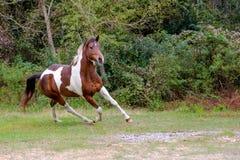 Άλογο χρωμάτων στο διασκελισμό Στοκ Εικόνες
