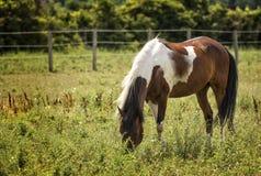 Άλογο Appaloosa σε ένα λιβάδι Στοκ εικόνα με δικαίωμα ελεύθερης χρήσης